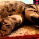 ネムネムなアメショーの子猫ちゃん動画