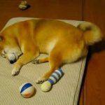 夢の中で遊ぶ柴犬のおもしろ動画