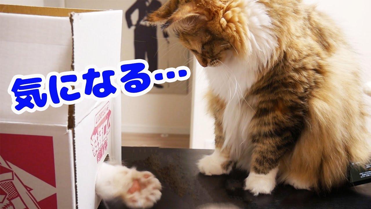段ボールを巡る2匹の可愛い猫の決戦?!猫は段ボールがお好み♪