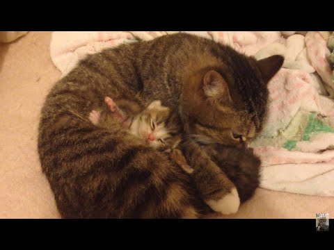 お母さん猫と産まれたての子猫の愛情たっぷり動画♪