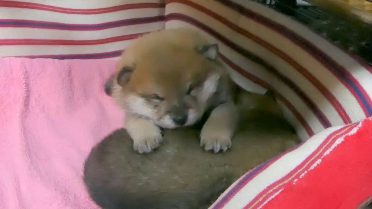 まるでカワウソみたいに可愛い柴犬の赤ちゃん動画