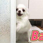 どうしてもお風呂に入りたいチワワ犬の動画!僕も入りたいだってば!!