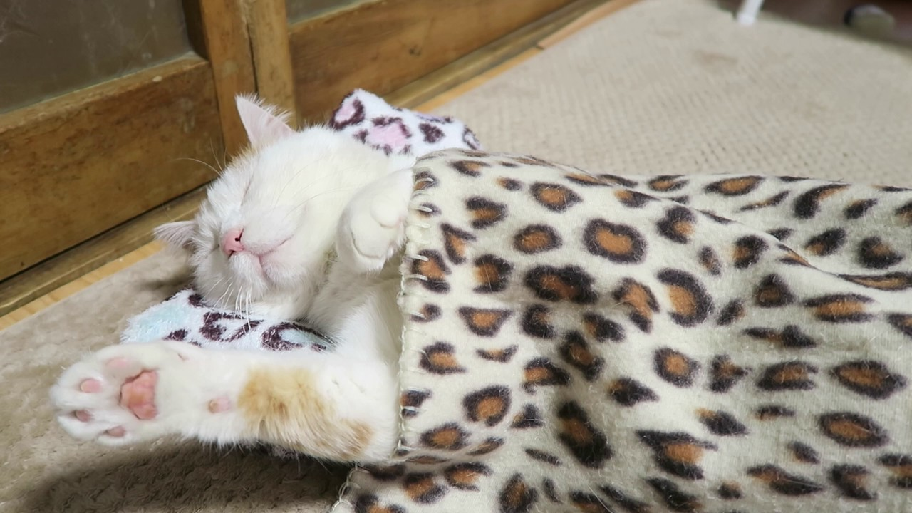 まるで人間のようにお昼寝する猫が可愛すぎる動画