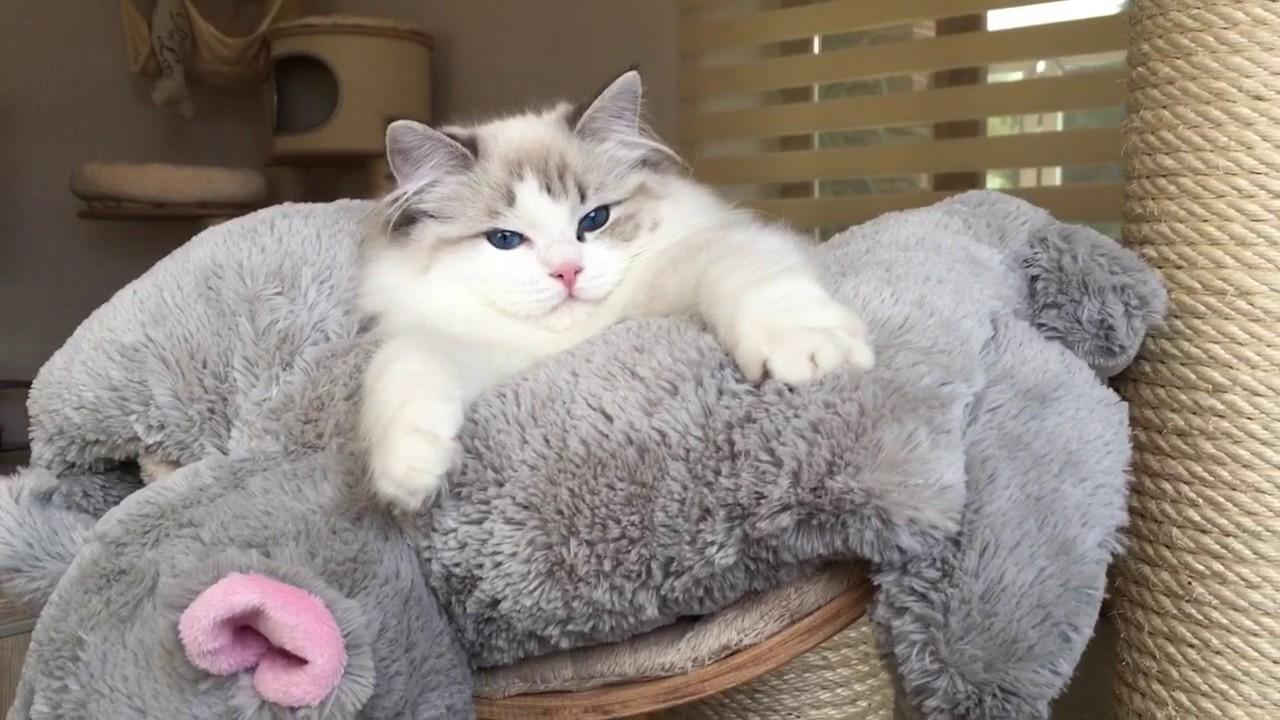 絵になる美形猫ラグドールの美しい寝姿