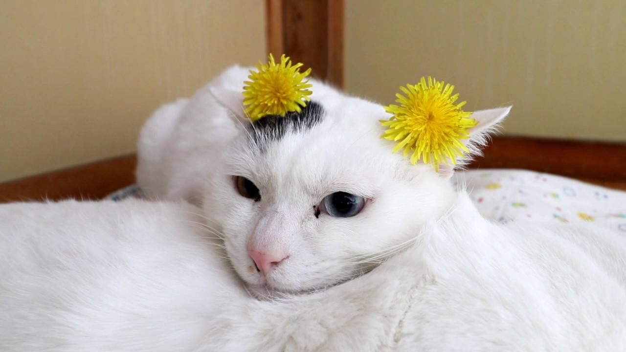 猫にたんぽぽを乗せてみたら、、、日本は平和な日常だったww