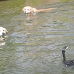 水鳥に遊ばれるゴールデンレトリバーがバカ可愛い!