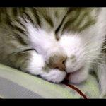 にゃんにゃん寝言を言う猫の動画