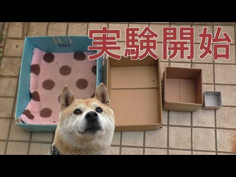柴犬の小春ちゃん。お出かけの時に入る箱の大きさを変えたらどうするか?