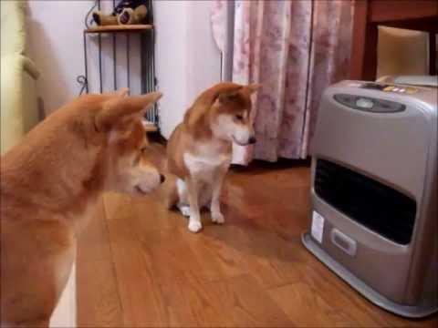 静かにファンヒーターの点火を待つ健気な柴犬くん達