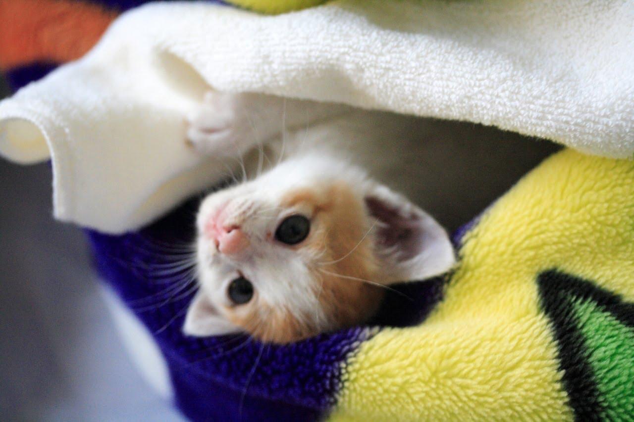 ゴロゴロ鳴く甘えん坊の赤ちゃん猫