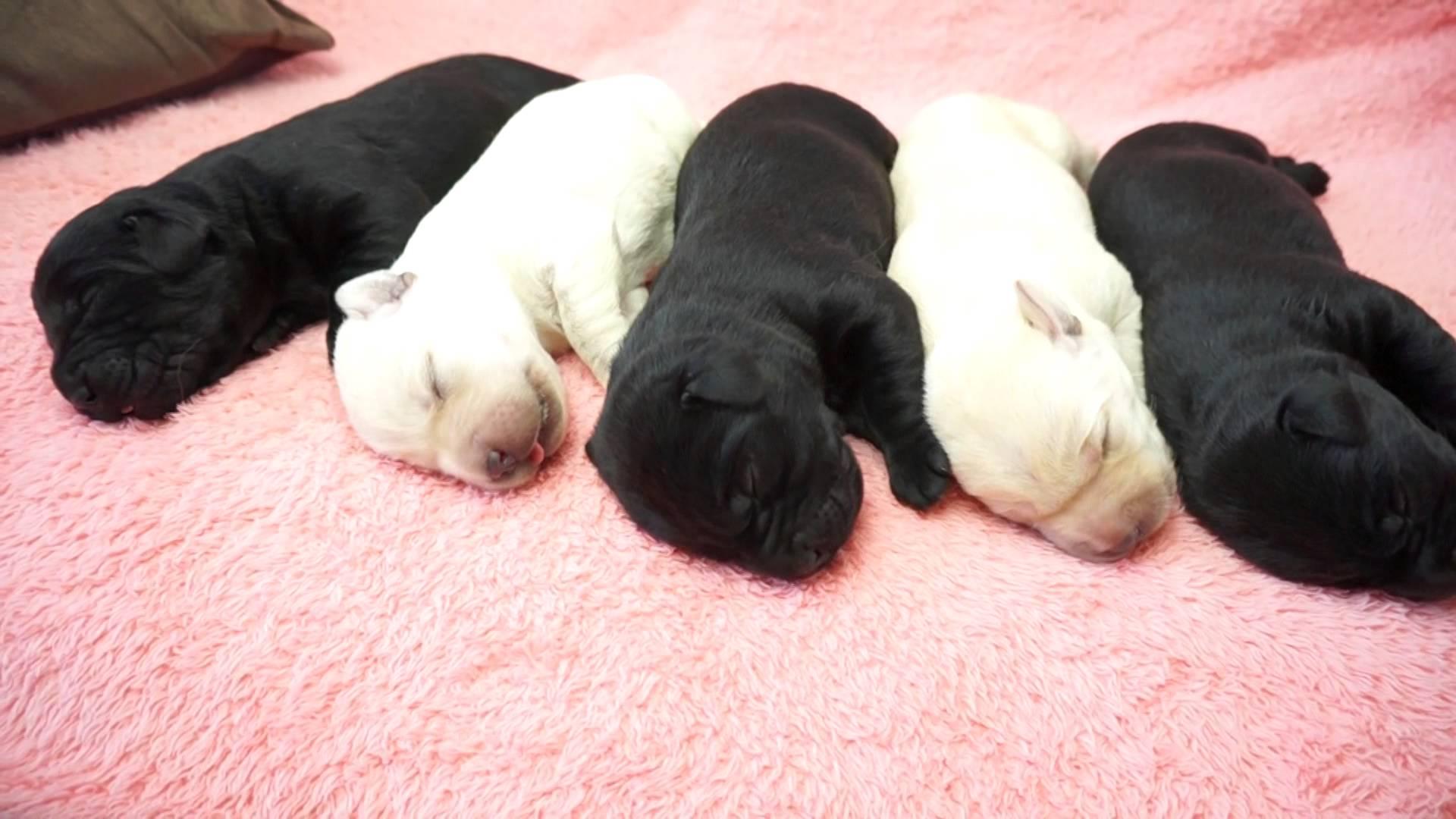 ラブラドールの赤ちゃん5匹の寝姿が可愛すぎる動画