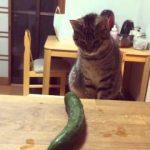 グリーンモンスターきゅうりVSキジトラ猫の動画