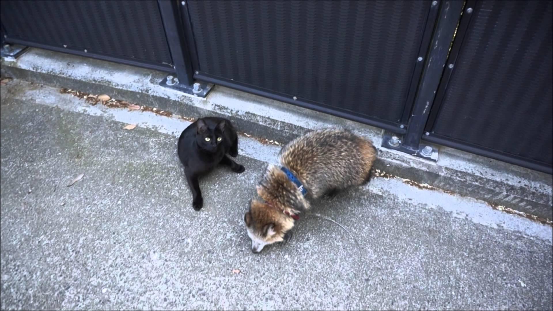 通りたいタヌキvs通さない黒猫の動画!意外と2匹は仲良しねww