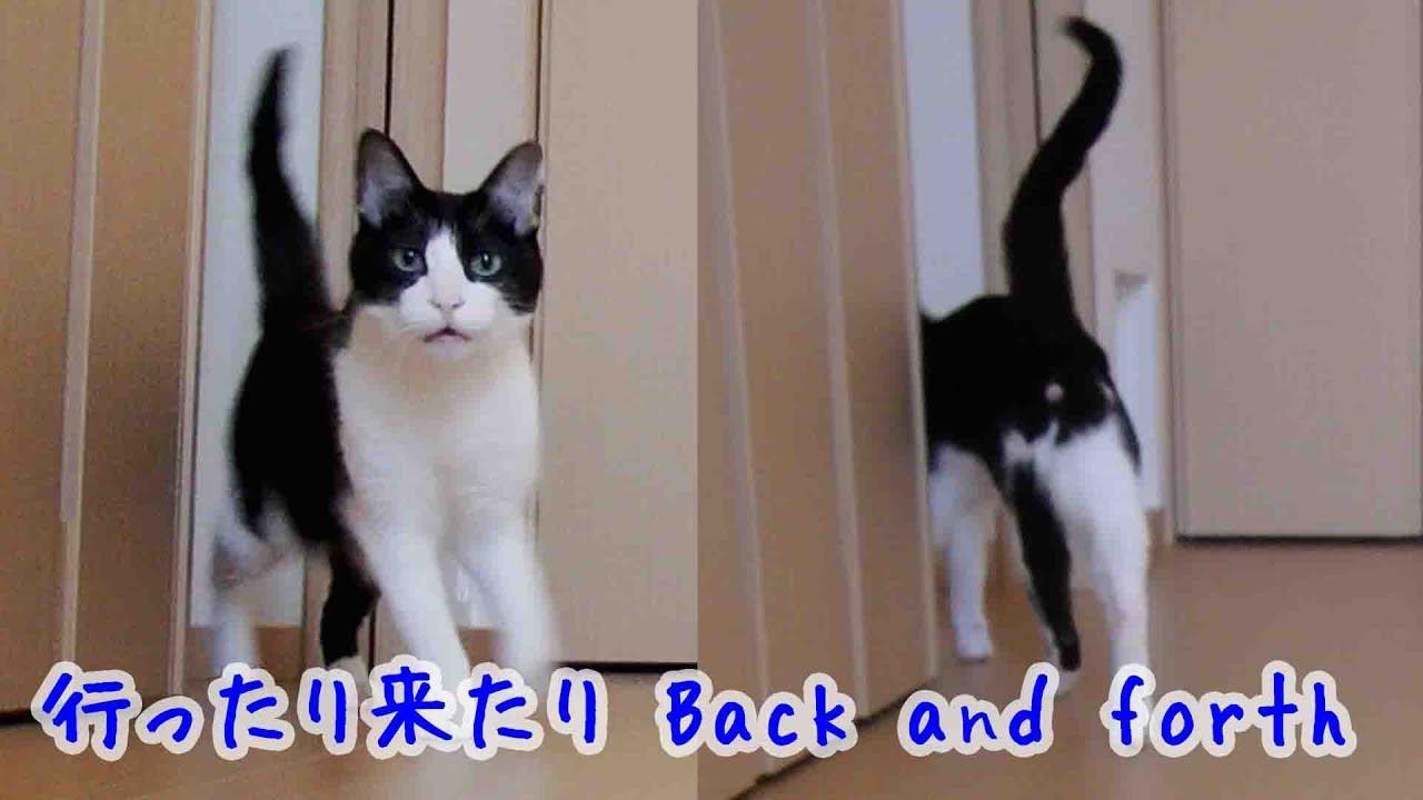 飼い主二人が別々に帰宅して大慌ての猫動画♪