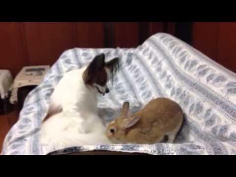 ウサギとパピヨンのキュートな戦い!余裕のウサギに注目です!!