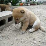 うつらうつら…今にも寝ちゃいそうな豆柴犬