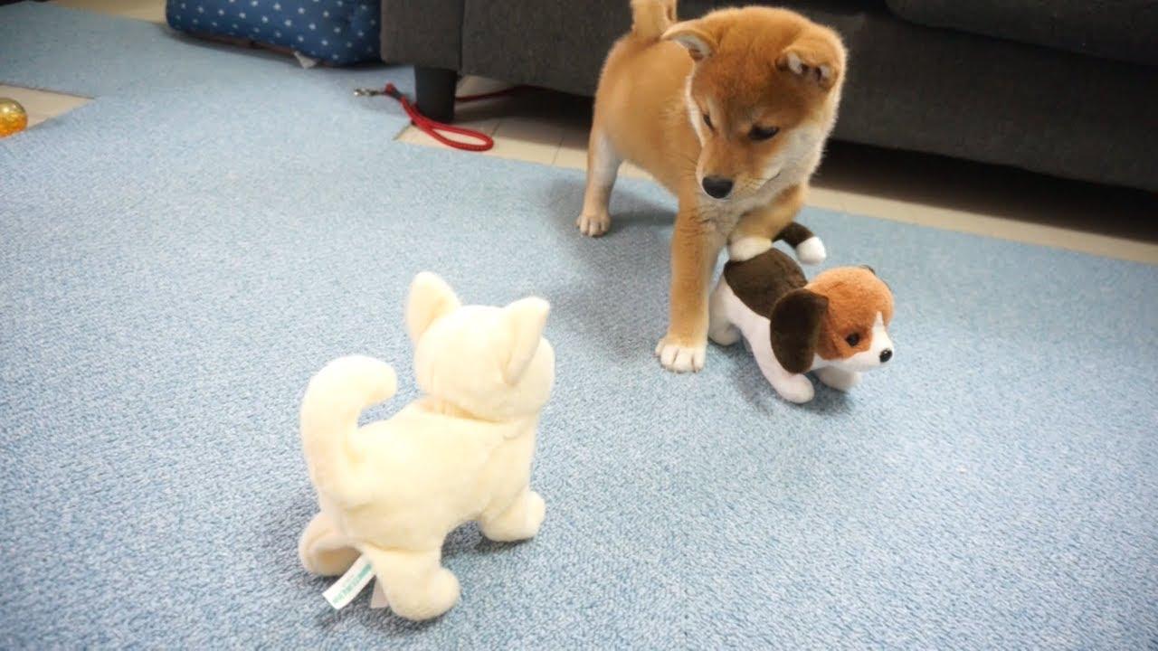 柴犬がおもちゃの柴犬にびびりまくりww