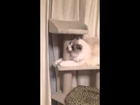 ラグドールちゃんがキャットタワーからうっかり落ちちゃう(*゚パ)ハッ!