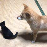 ずっと一緒だよ(。☌ᴗ☌。)柴犬と猫ちゃんが仲良しすぎる!