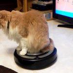 お掃除ならおまかせにゃヾ(*´∀`*)ノルンバ使いの猫ちゃん