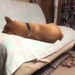 そんなに端で寝ていると?尻もちをつく柴犬ヽ(。◇゚)ノ
