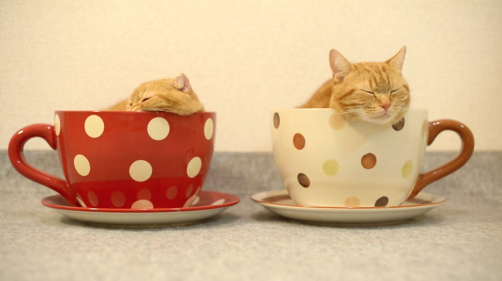 ティーカップにゃんこのサイズ感がたまらない!