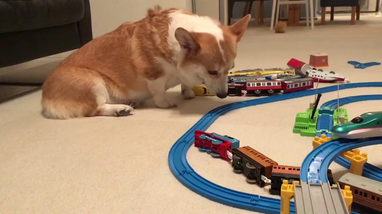 ここは通さん!電車のおもちゃを邪魔するコーギー