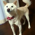 驚きΣ(゚口゚;「ちょうだい」としゃべる柴犬