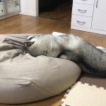 人をダメにするソファーは犬もダメにする?ハスキー( ・ω・)