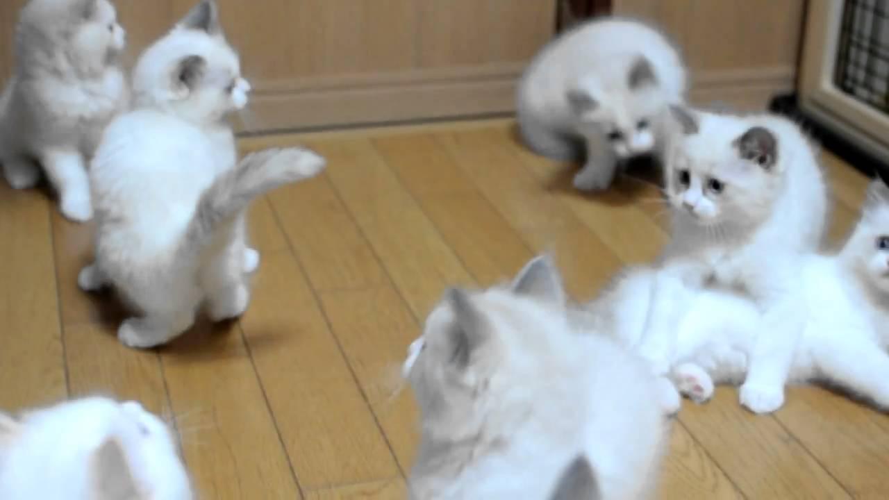 癒され必至!ラグドールの子猫まみれ (´∞` )