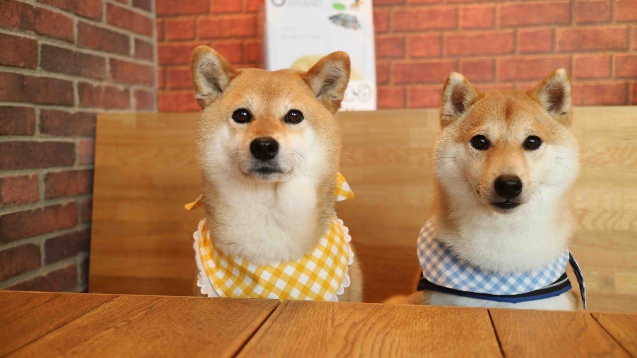二匹並んでご飯の時間♡柴犬の早食い対決(ノ´∀`*)