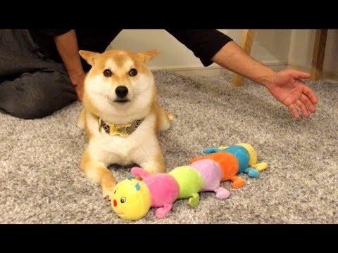 何がなんでも譲らない!柴犬とおもちゃ攻防戦♡