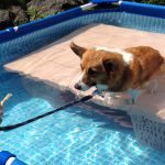 コーギーが初めてのプールに挑戦!上手にできるかな?
