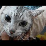 お風呂嫌いの猫ちゃん「イーヤー!」必死な鳴き声過ぎる件