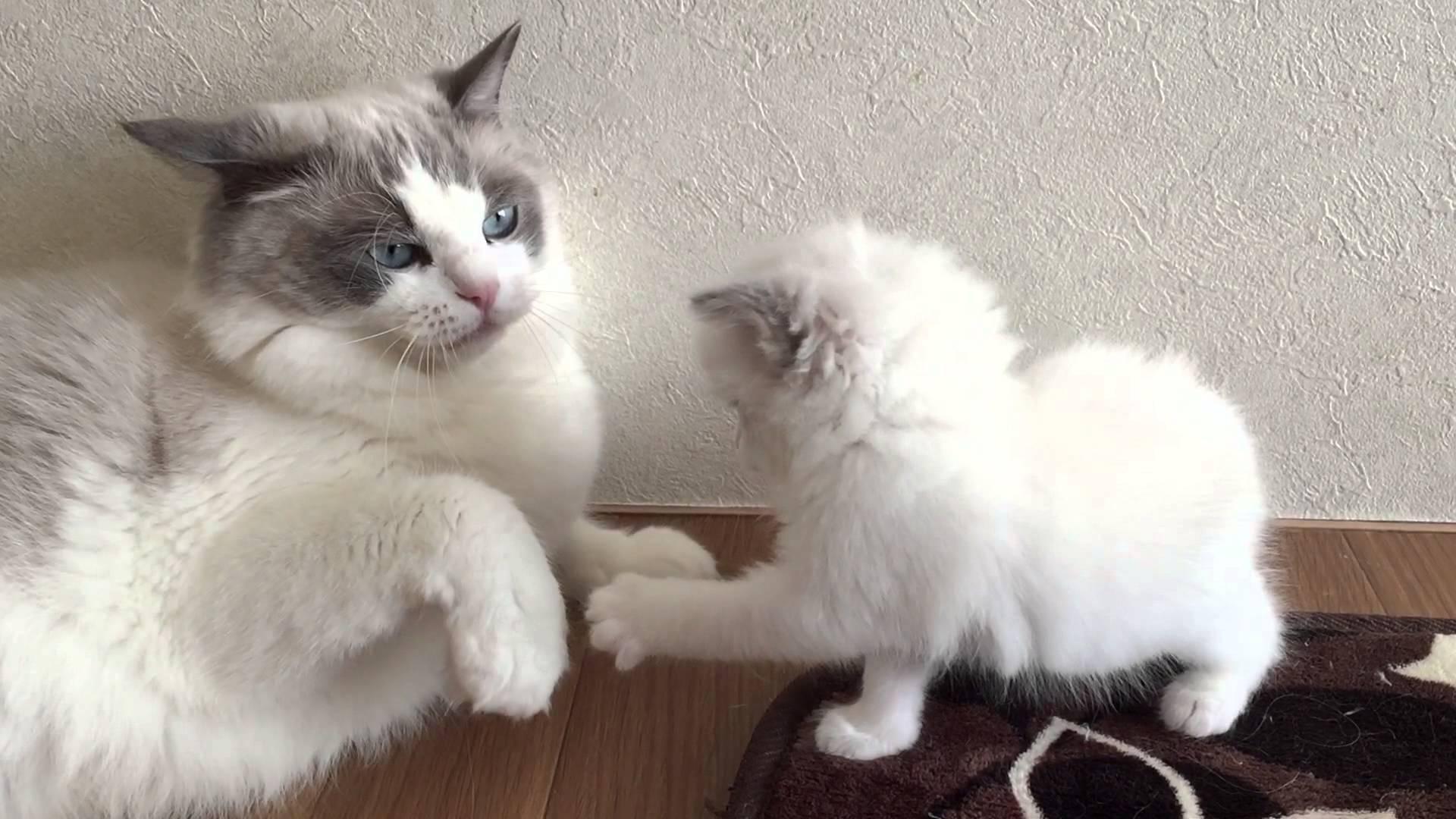 挑むことに意味がある?大人ネコに軽くあしらわれる子ネコがカワイイ♡