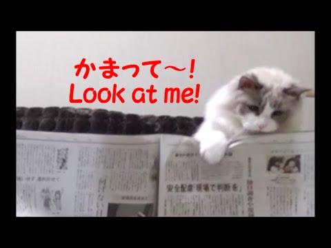 新聞より僕をかまって?かわいい猫の嫌がらせ♡