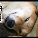 ゆるかわ!白目をむいてスヤスヤ眠る柴犬♡