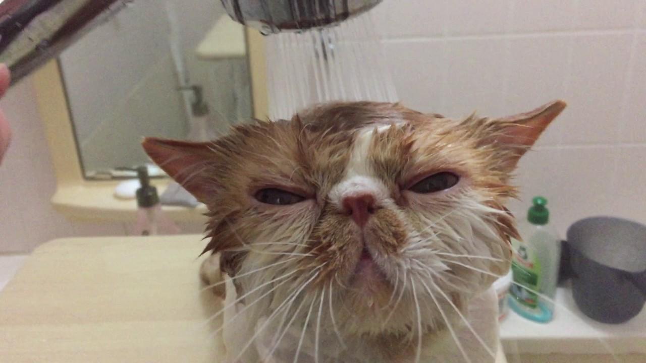 水に濡れて別人なお風呂中のエキゾチックショートヘア♡