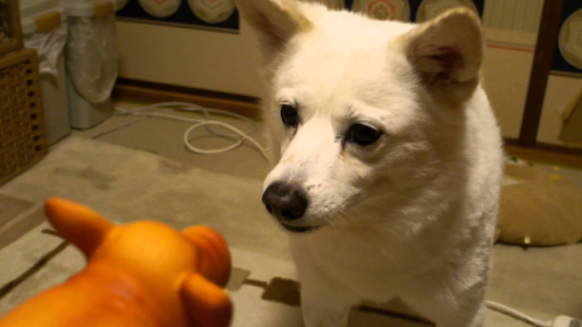 音のなるおもちゃにビックリ!チワワと柴犬♡