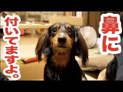 ヨーグルトを食べた犯人!!お口が真っ白な犬♡