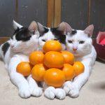 そんなところに!?猫の上にみかんピラミッド♡
