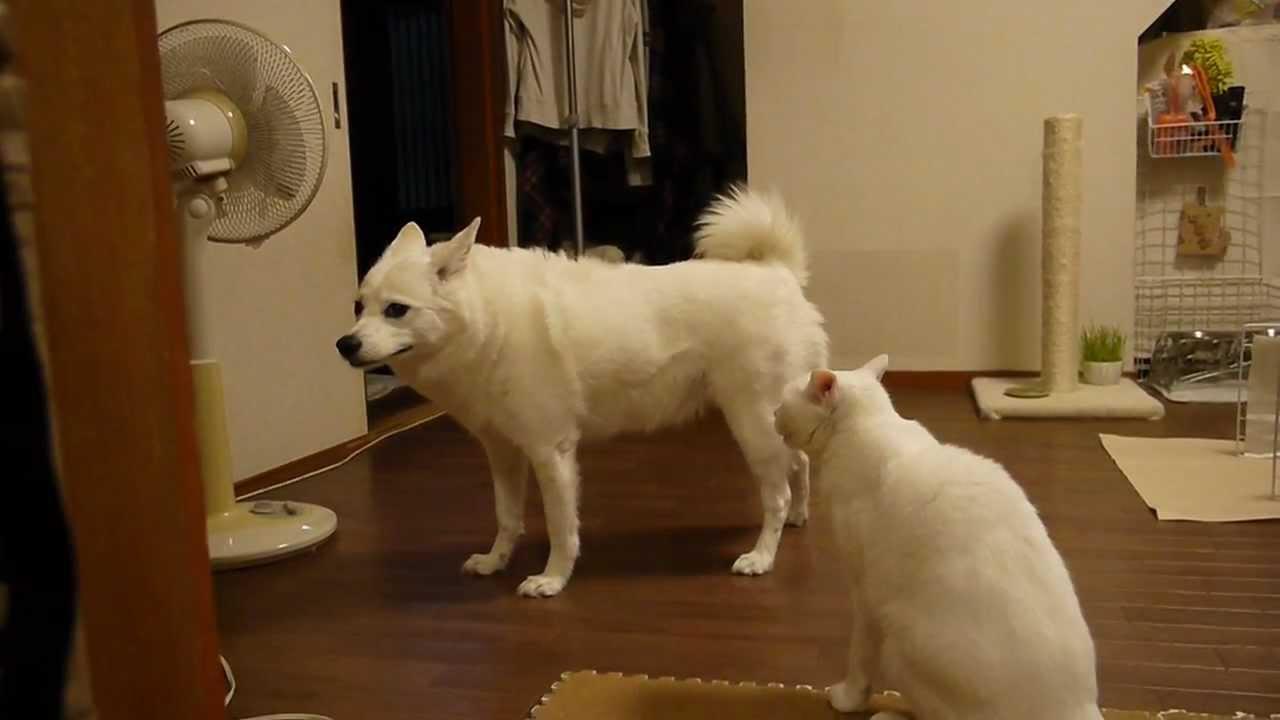 真っ白な猫ちゃんが、真っ白なワンちゃんに何かを訴えているようですヽ(`Д´#)ノ