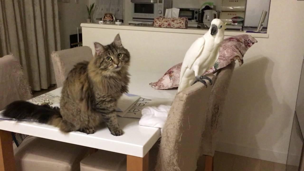 オウムが気になって仕方ない猫ちゃん♡