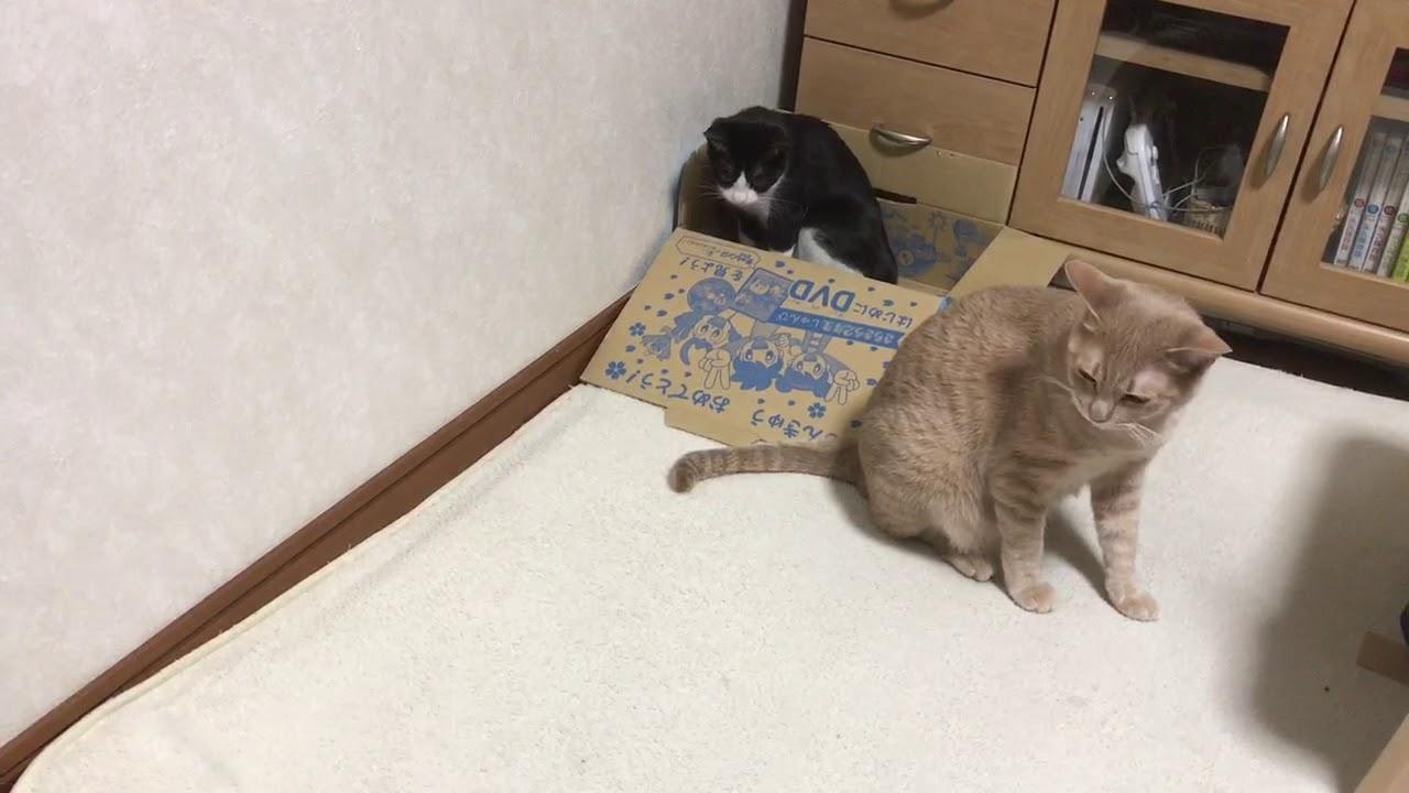 猫はやっぱり箱がスキ♡ダンボール争奪戦!