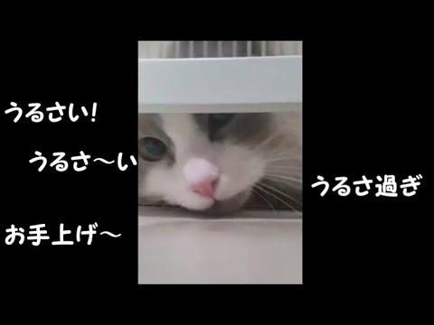 キッチンに入れない猫ちゃんの最終奥義!が無茶苦茶すぎる〜♡
