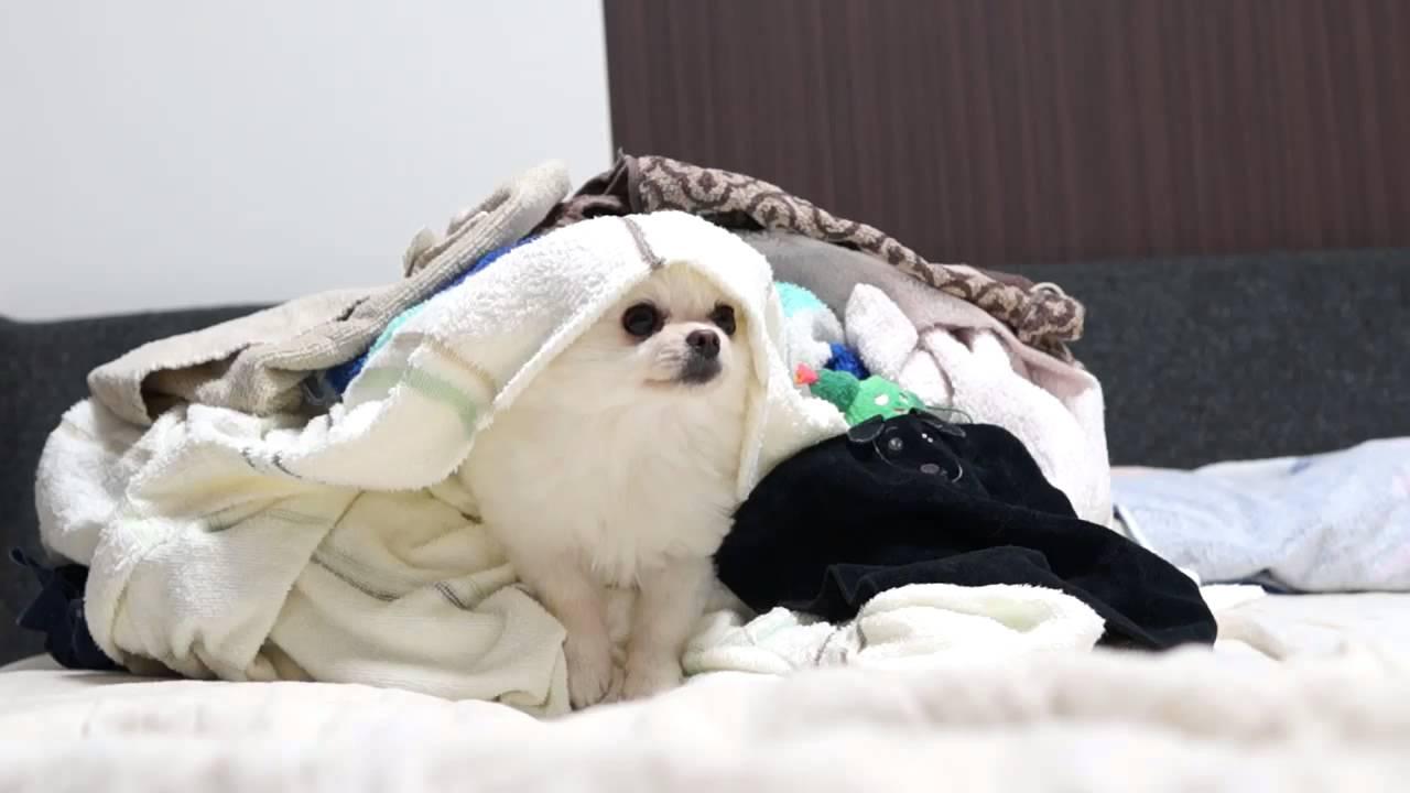洗濯物からお顔を出していたのは〜?ポメラニアン♪