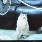 夏ならでは♡扇風機と格闘する猫ちゃんにキュン死に〜!!