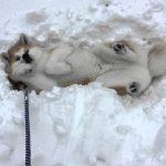 雪の上から動かない!絶対に帰りたくない秋田犬♡