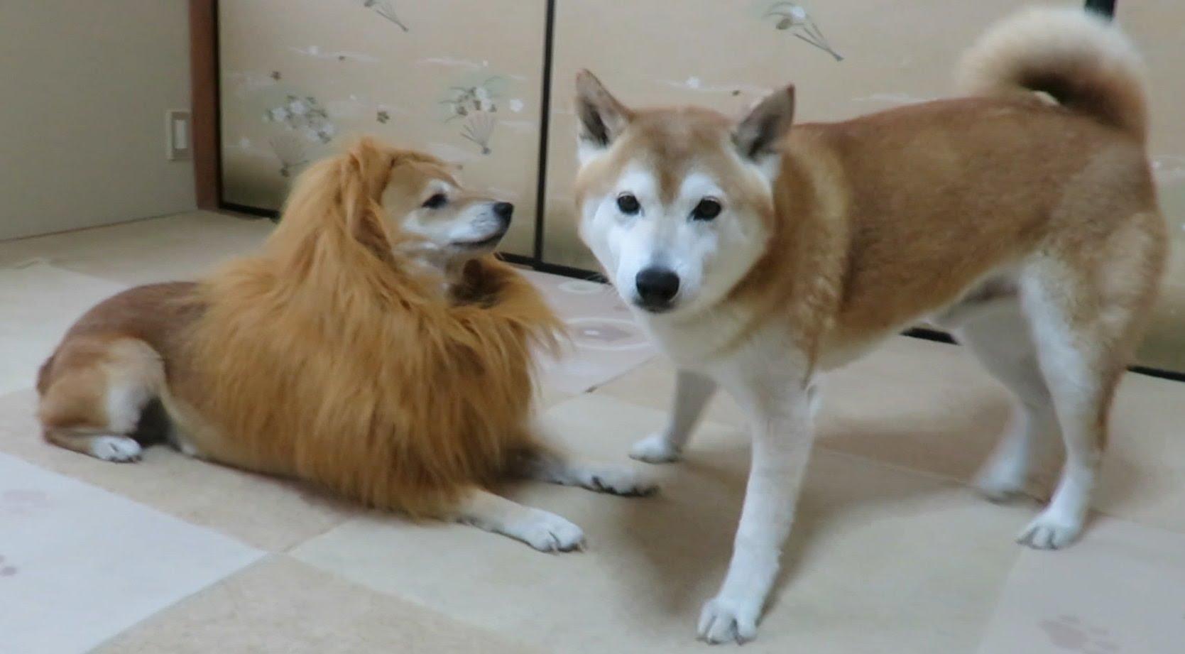 ライオンになった柴犬の可愛さが半端じゃない件。