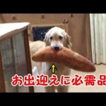 パンをくわえたゴールデンレトリバーちゃん♡飼い主さんの帰宅に大興奮!